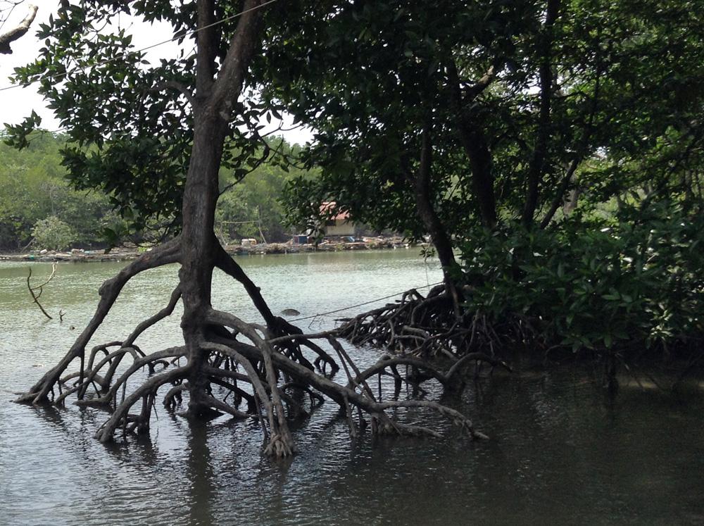 Vorbei an einem kleinen Mangrovenwald...