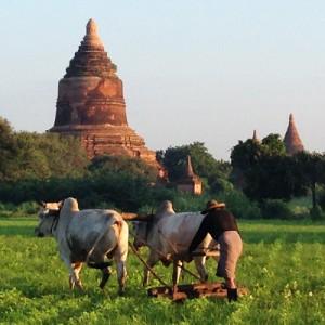 Viele Flächen zwischen den Tempeln werden Landwirtschaftlich genutzt – und obwohl überall Scooter und Autos rumfahren, nutzt man dafür noch Ochsen...