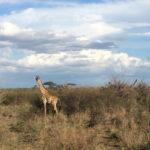... und schon wenig später sehe ich meine erste frei lebende Giraffe. Sie kuckt neugierig – und wenn sie rennt sieht das aus wie in Zeitlupe.