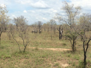 Zebras bleiben lieber in der Ferne
